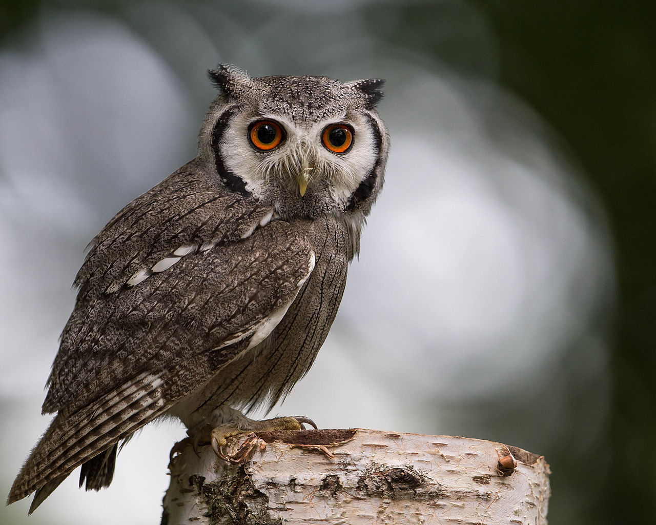 Southern White Faced Scops Owl in Botswana