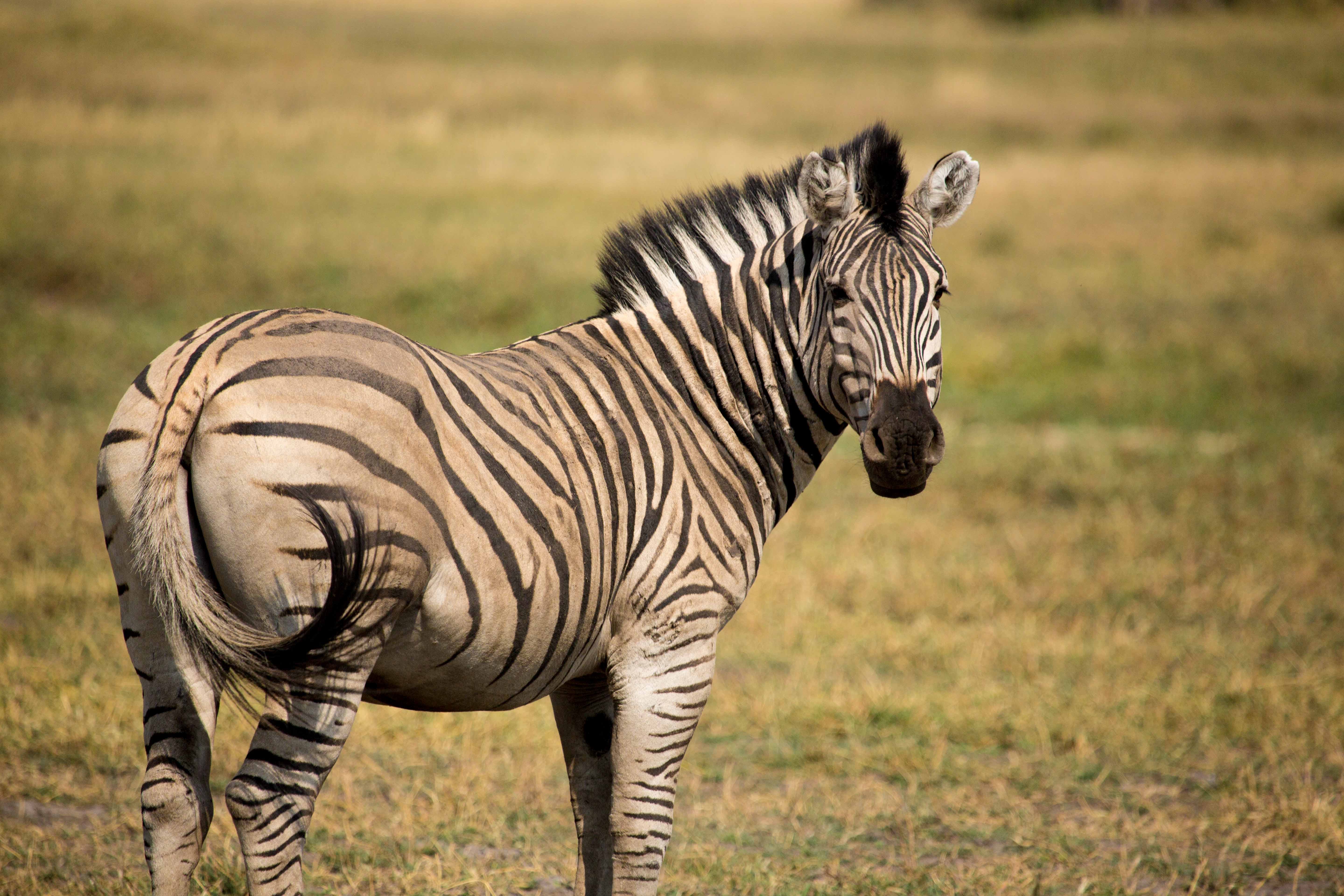 botswana zebra medium shot