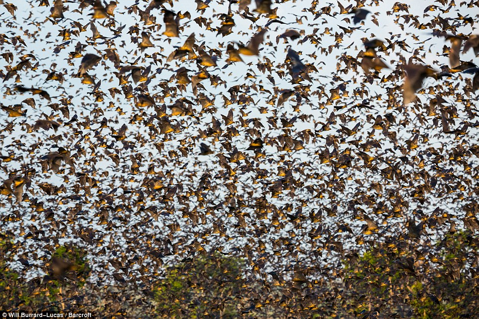 Zambian bat migration