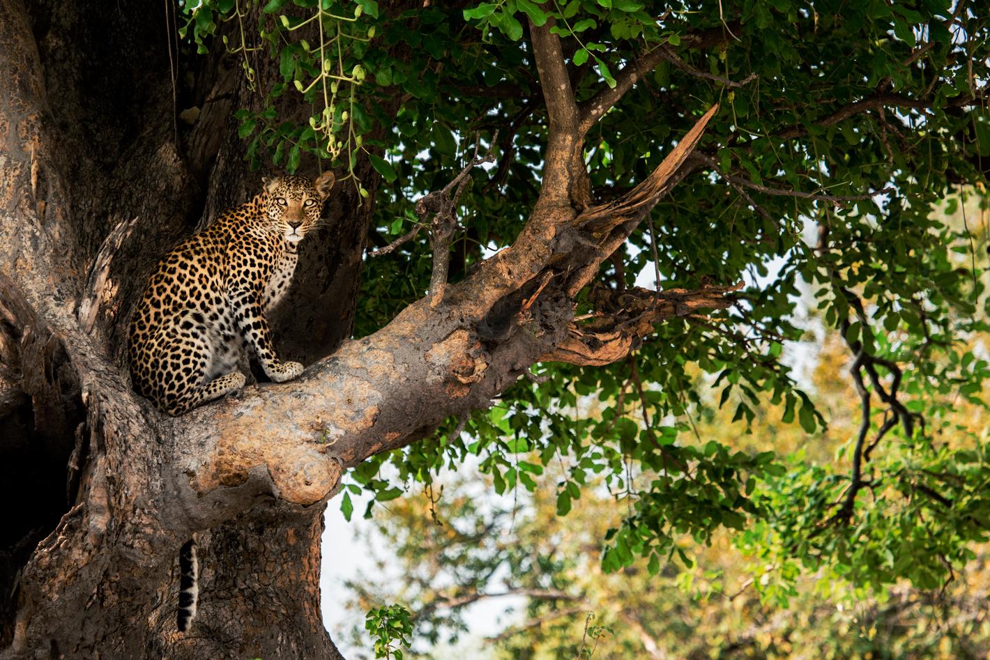 beautiful leopard in tree