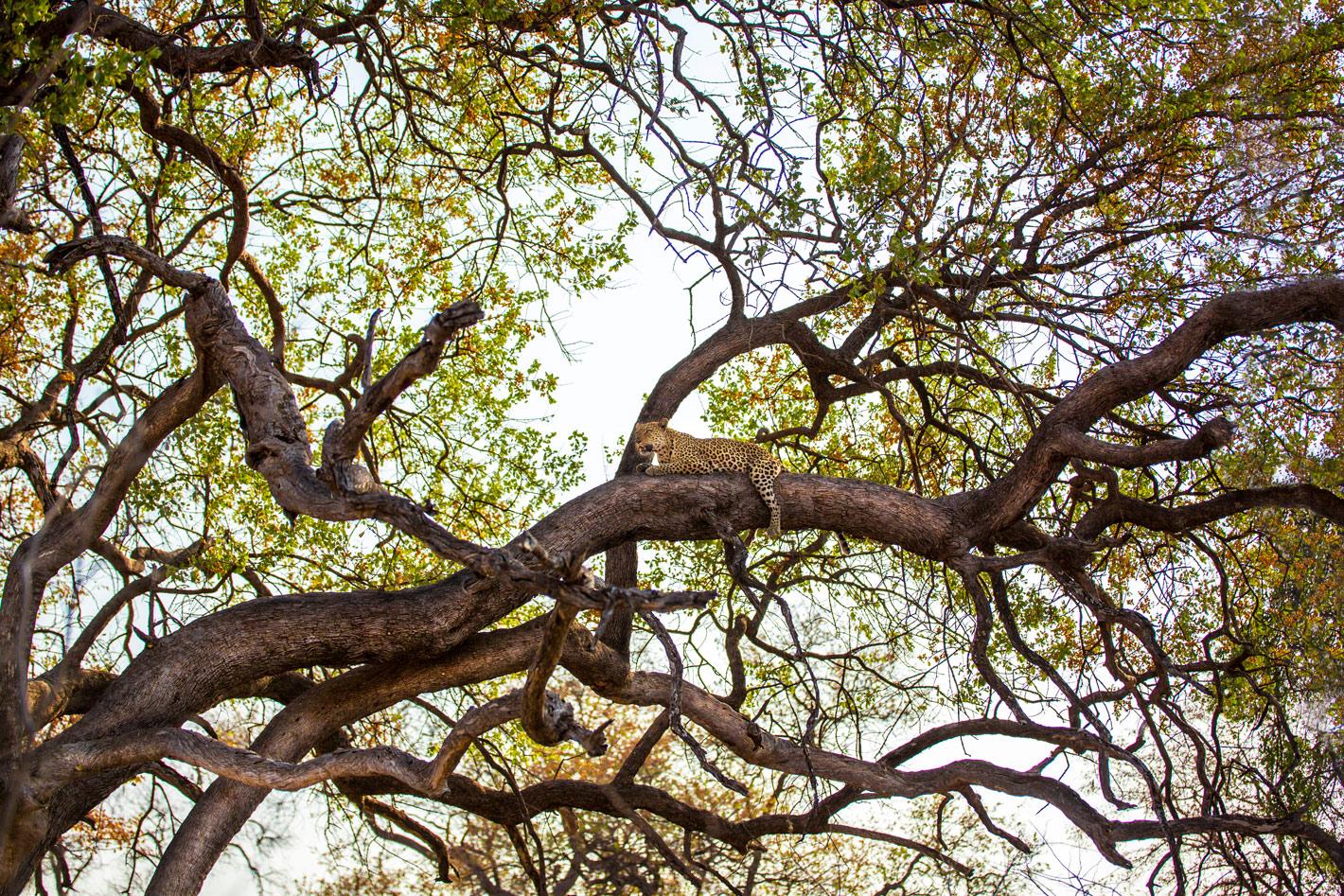 leopard-in-mottled-tree