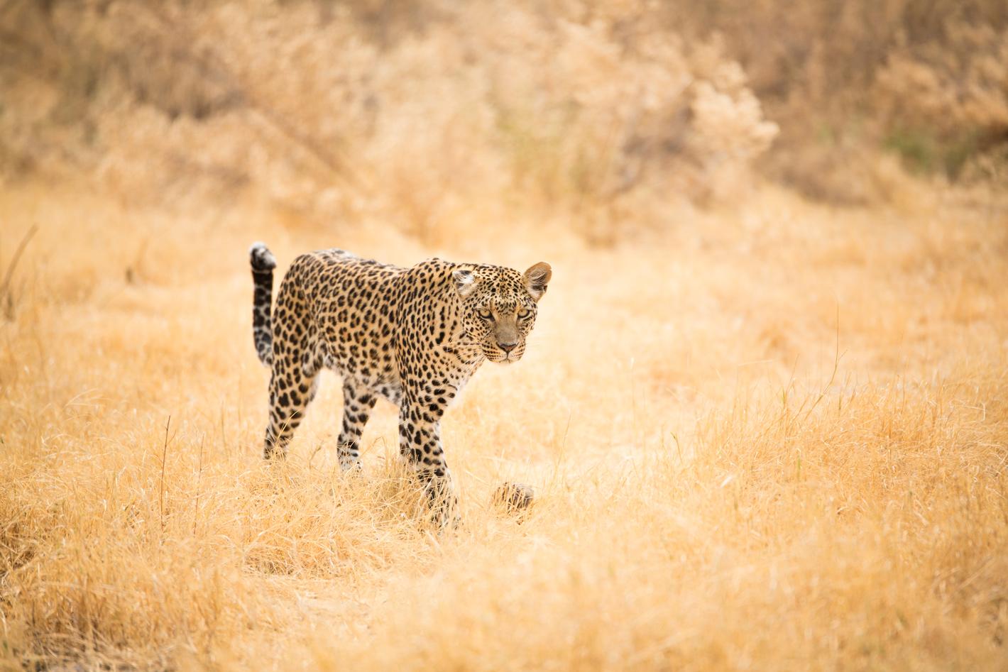 leopard in savannah
