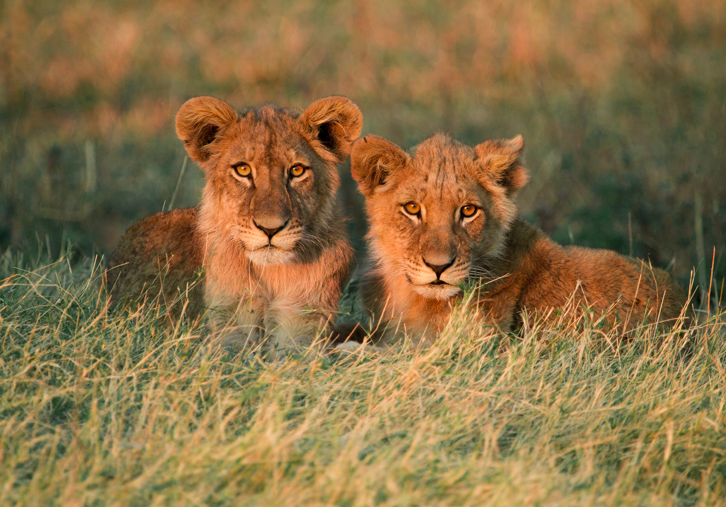 lion-cubs-in-grass
