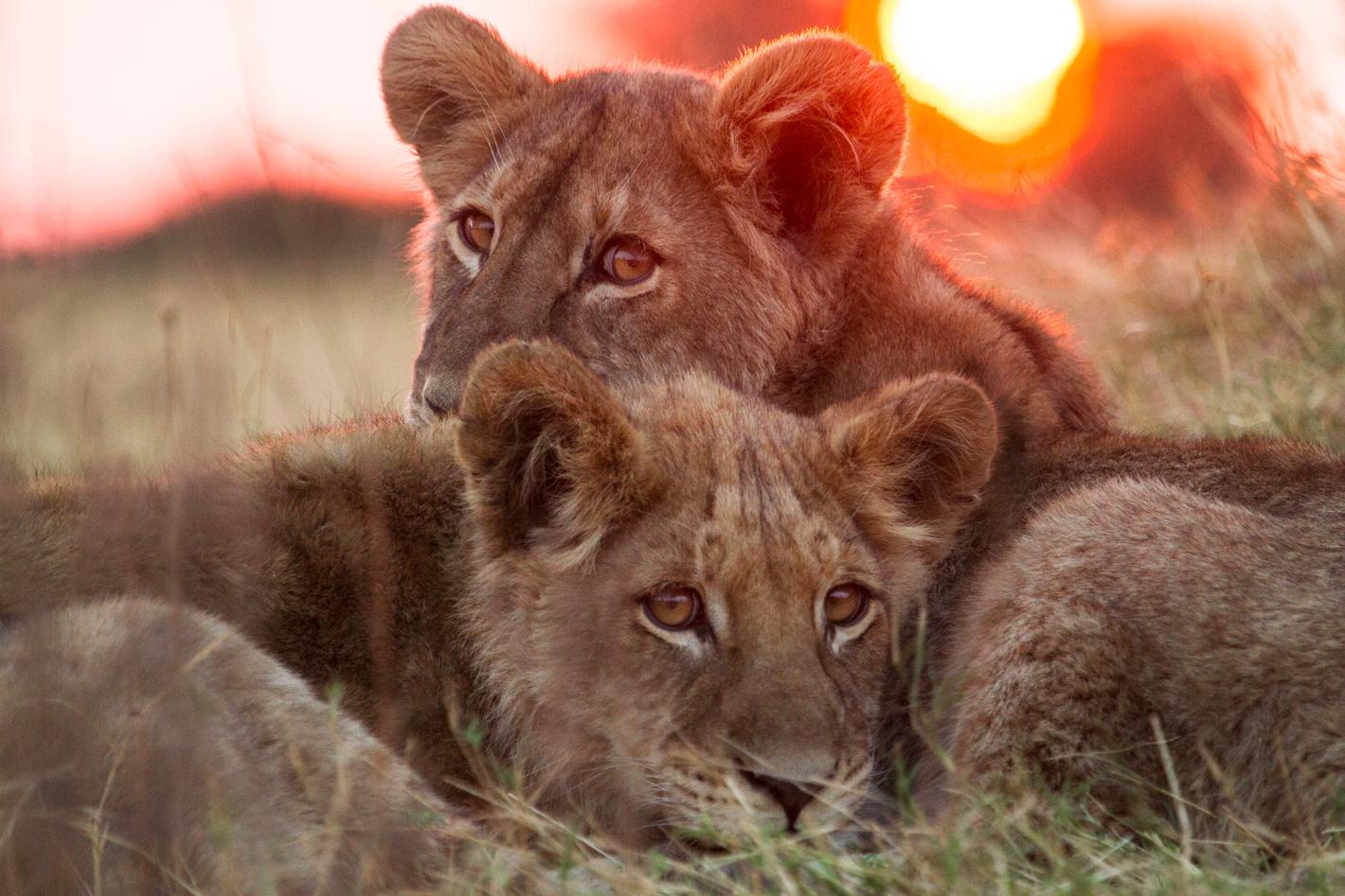lions lying