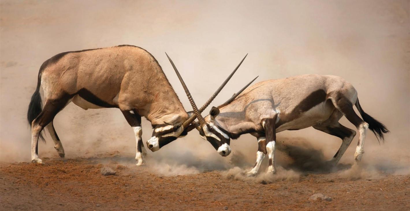 Gemsbok-fight