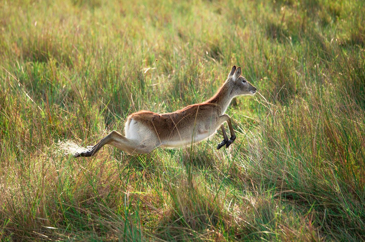 running-buck