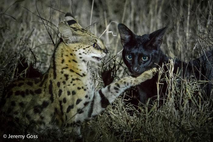 Schwarze Wildkatzen und melanistische Servale in Kenia