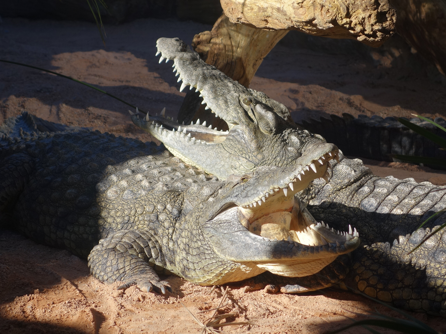 crocodiles mating