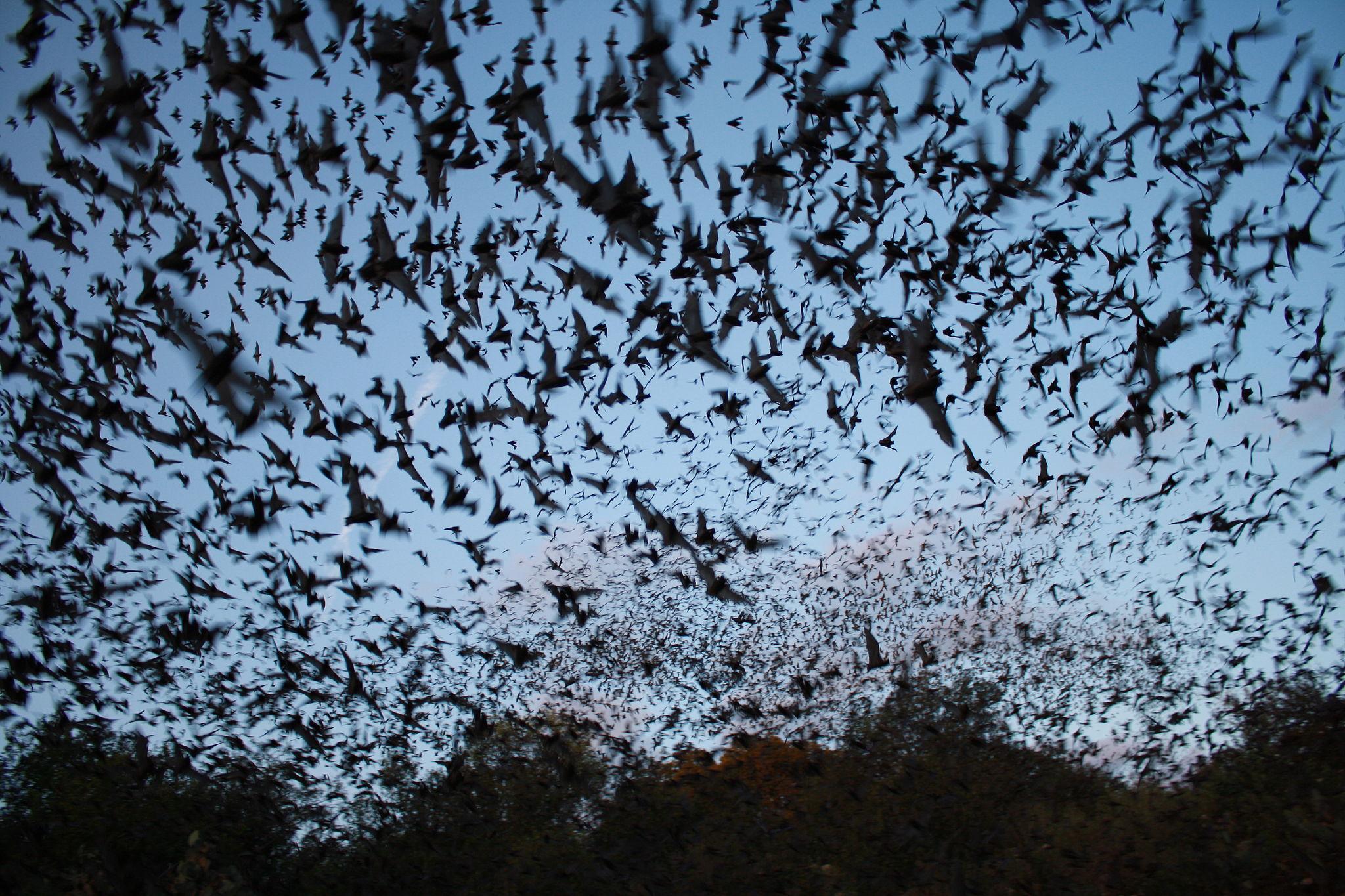 Epische Fledermauswanderung in Sambia