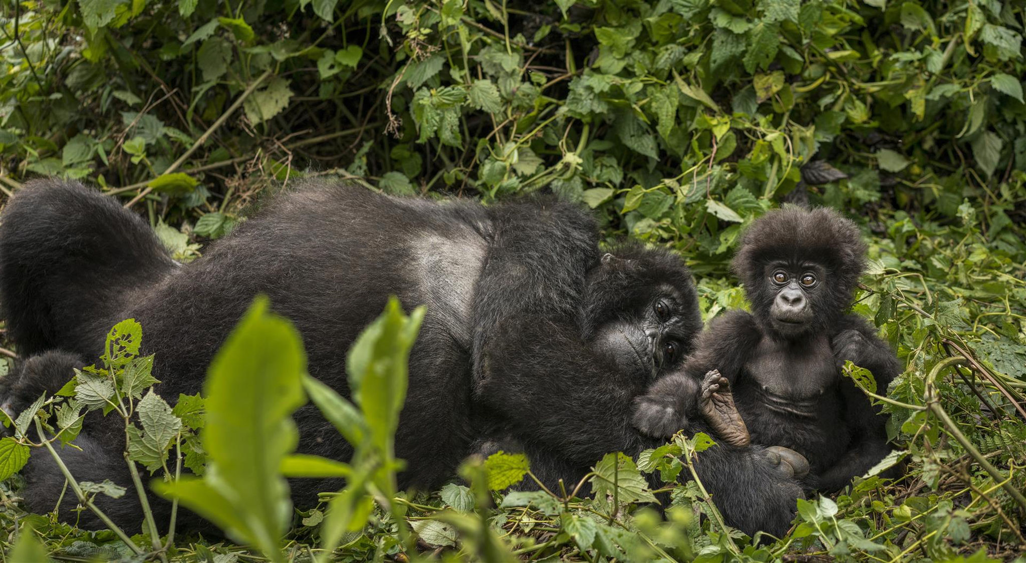 baby gorilla with family