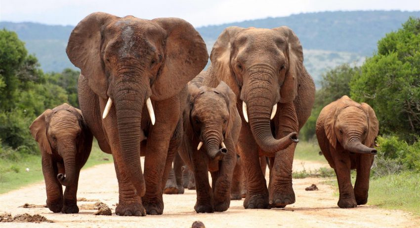 elephant family walking in addo elephant national park, south africa