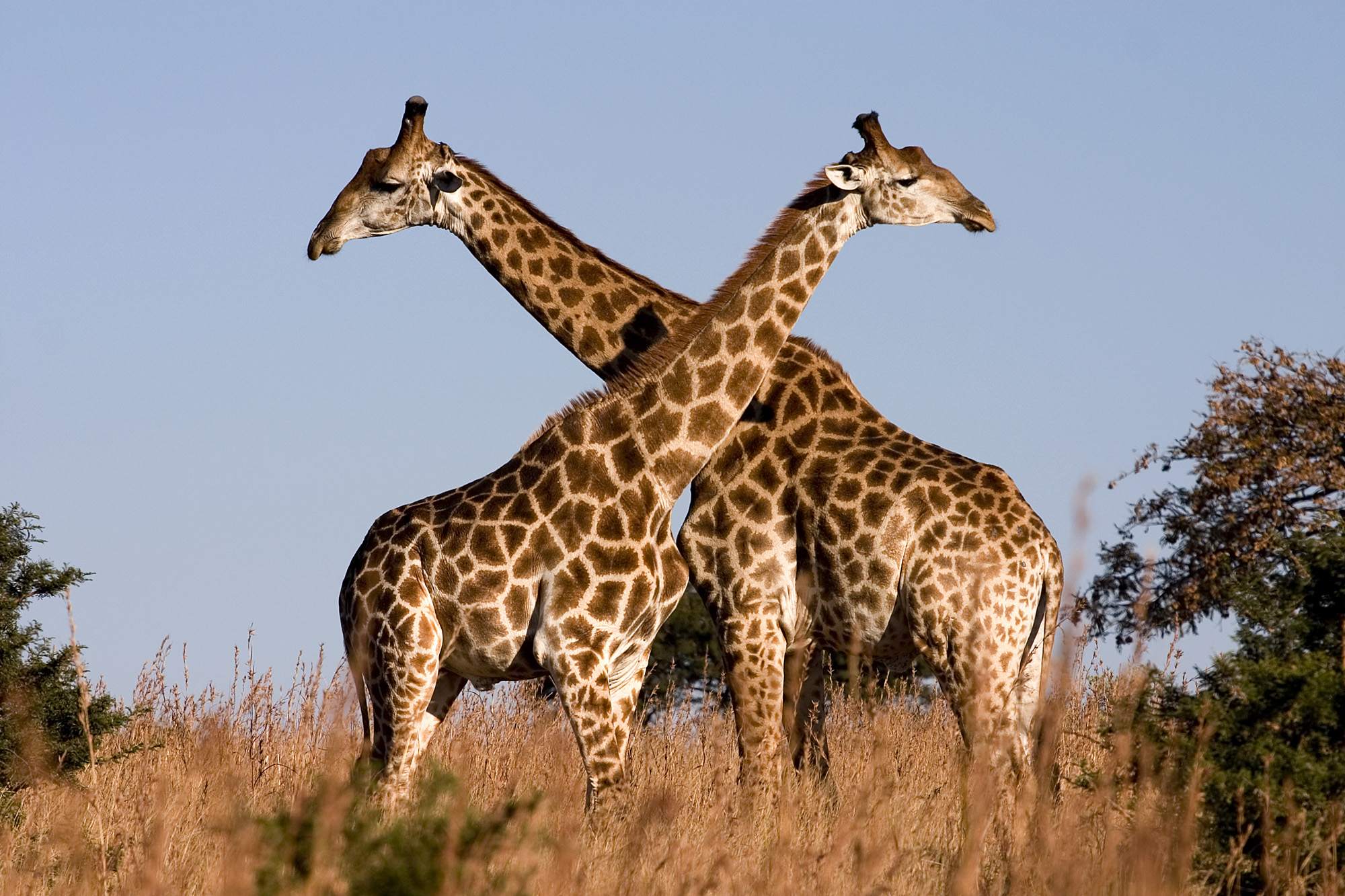 giraffes embracing