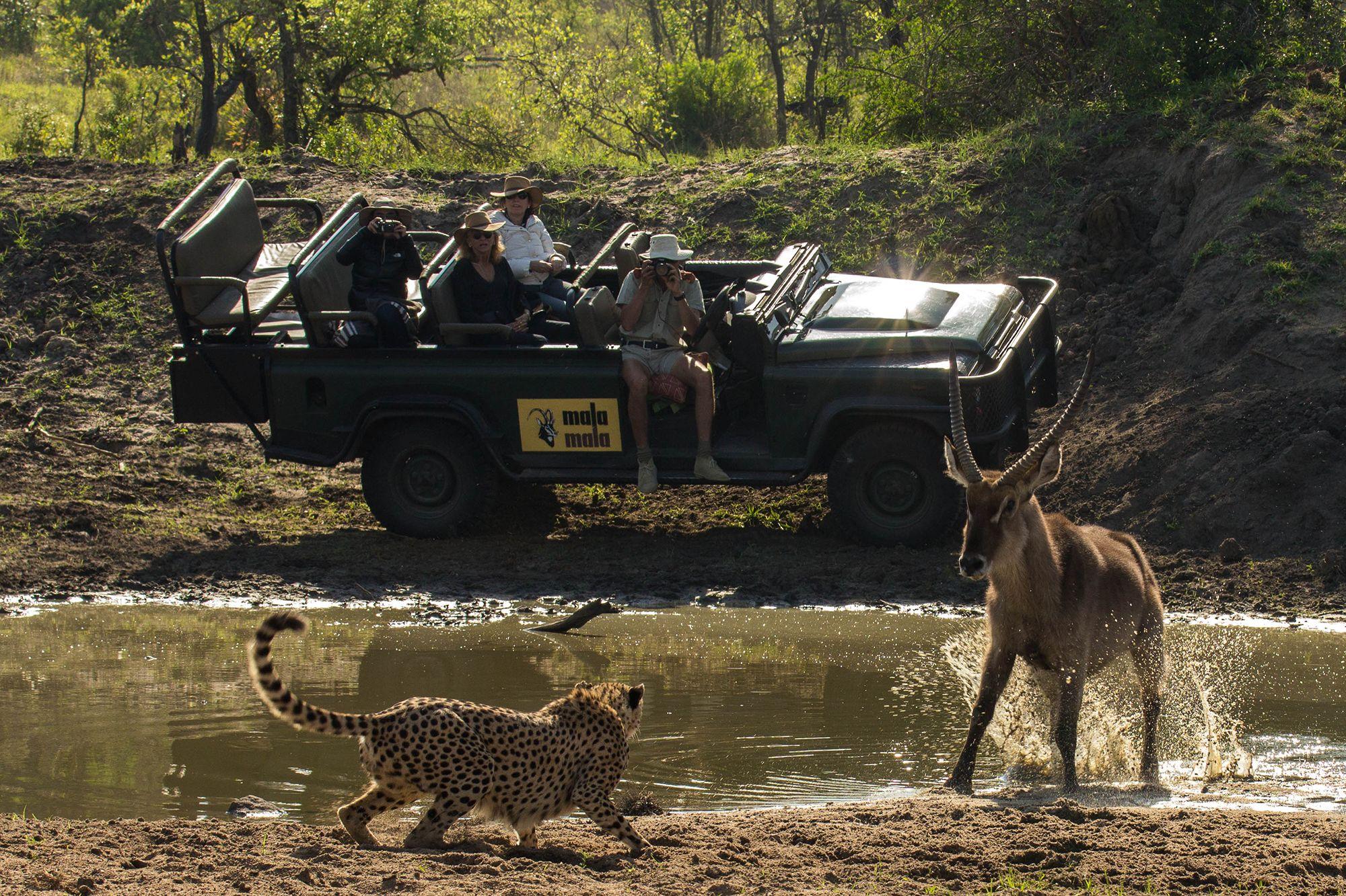 leopard attacks buck