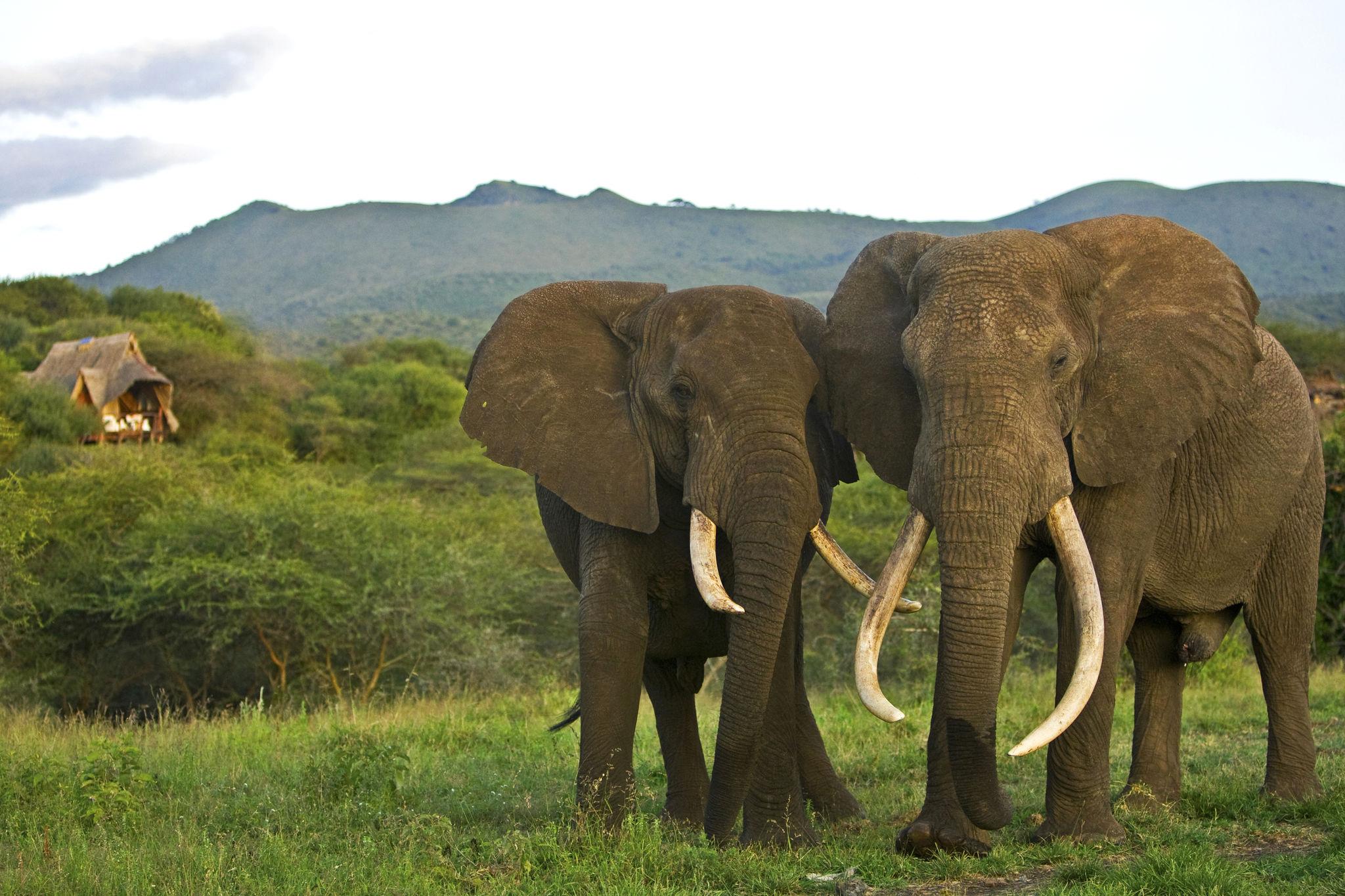 """""""Big Tusker"""" – die Könige der Elefanten mit Stoßzähnen bis zum Boden"""