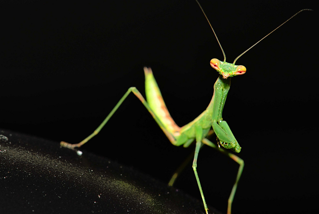 close up of green preying mantis