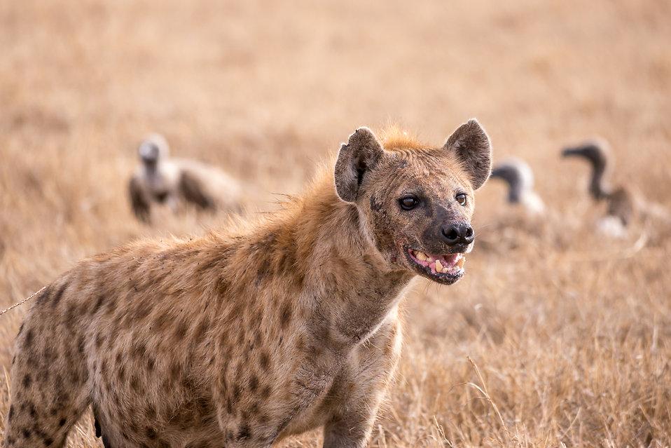 hyena grinning