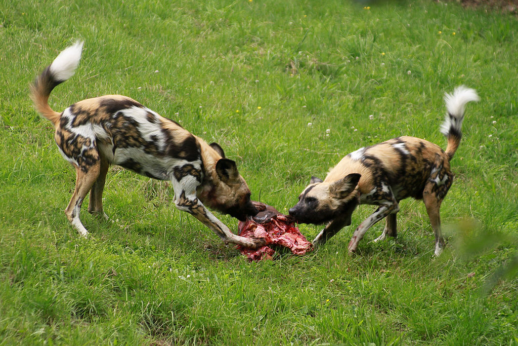 wild-dogs-eating-kill