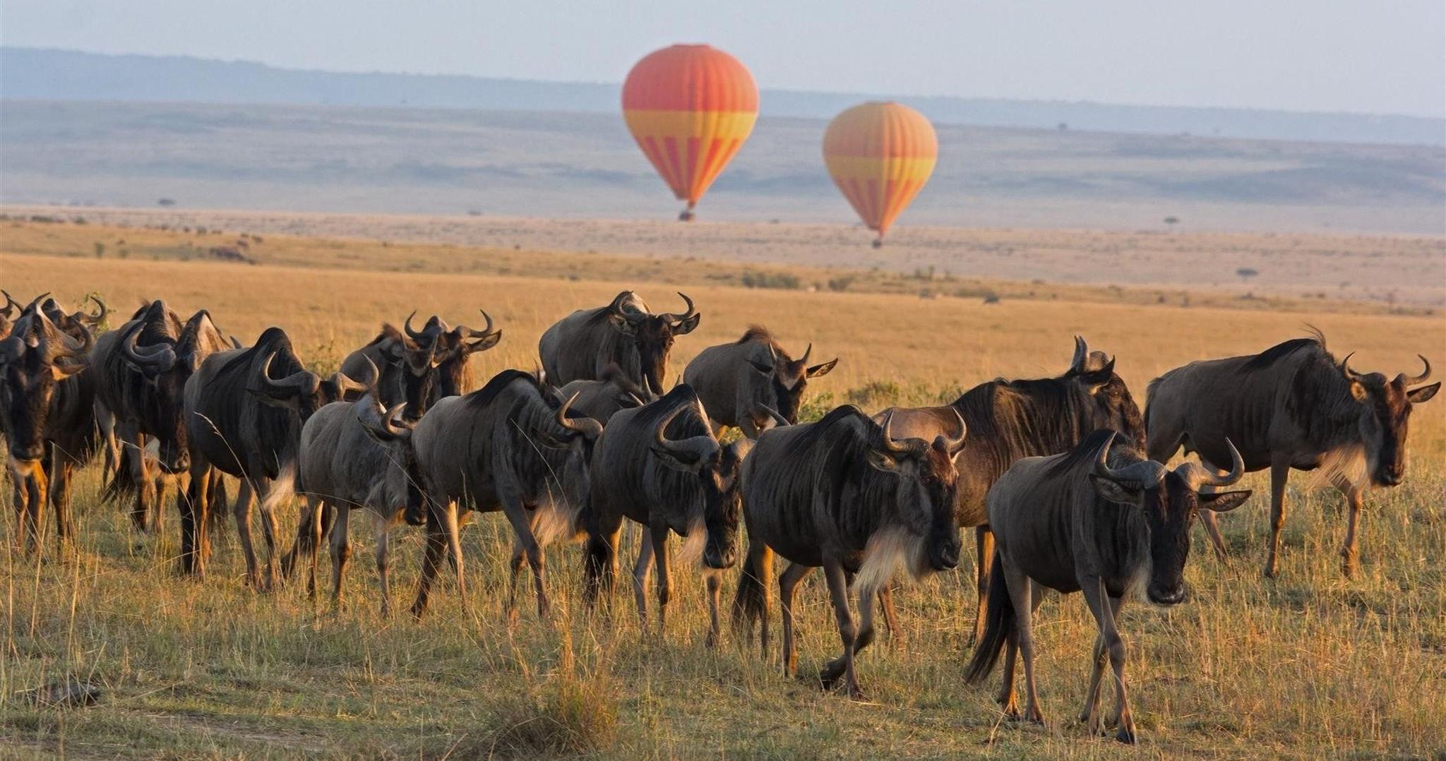 Manada de ñus en el Masái Mara de Kenia y globos a la distancia