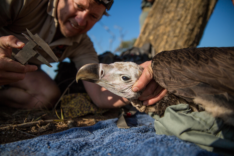 Naturalistas trabajan con un buitre