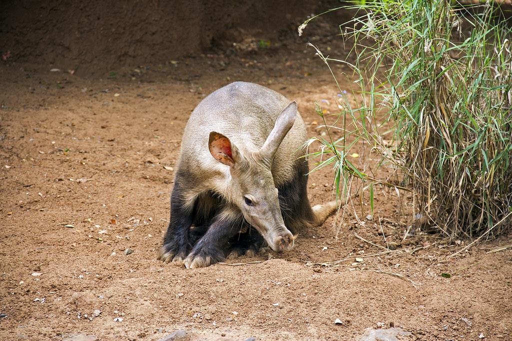 aardvark-sniffing-ground