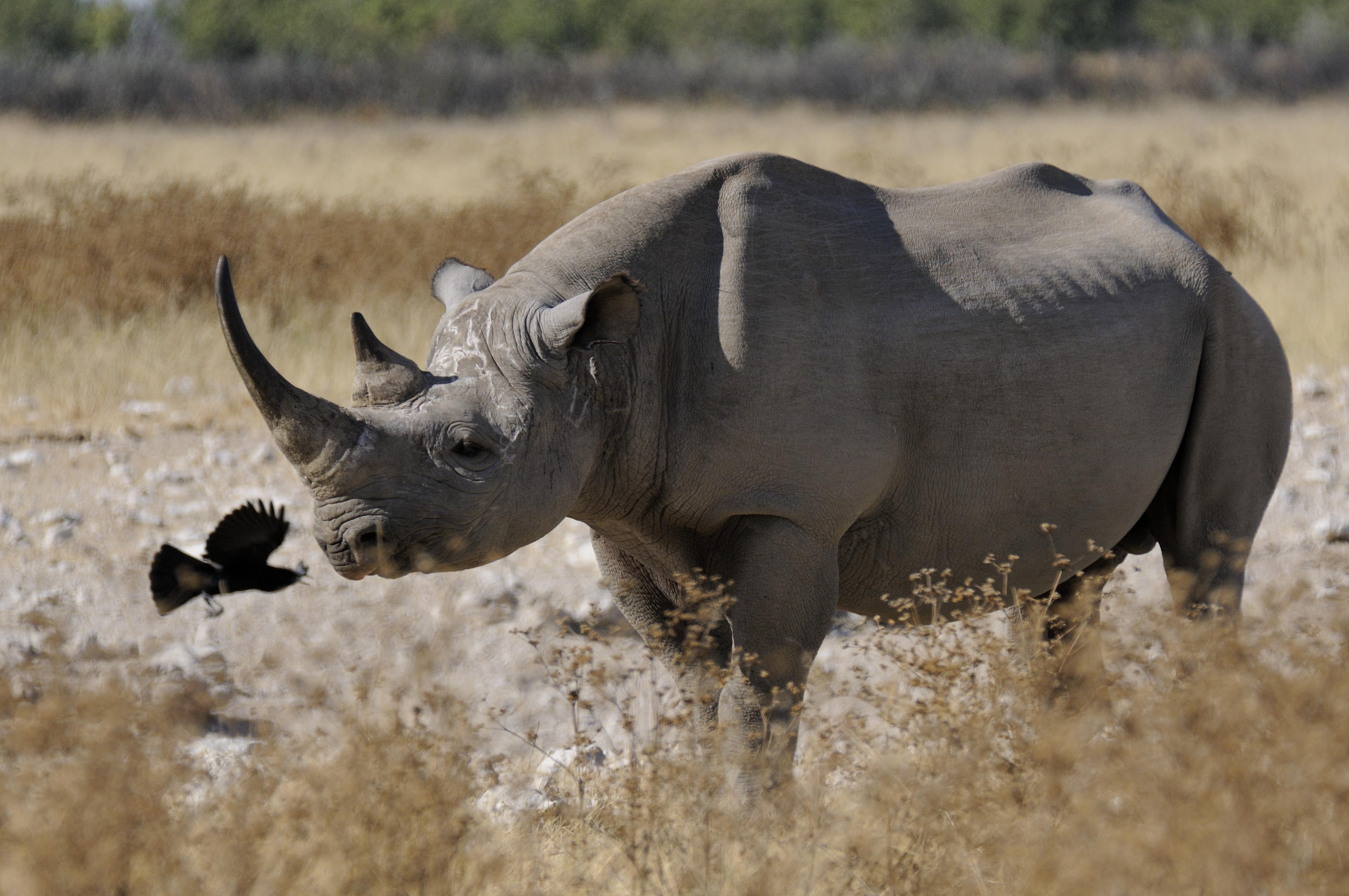 black-rhino-with-bird