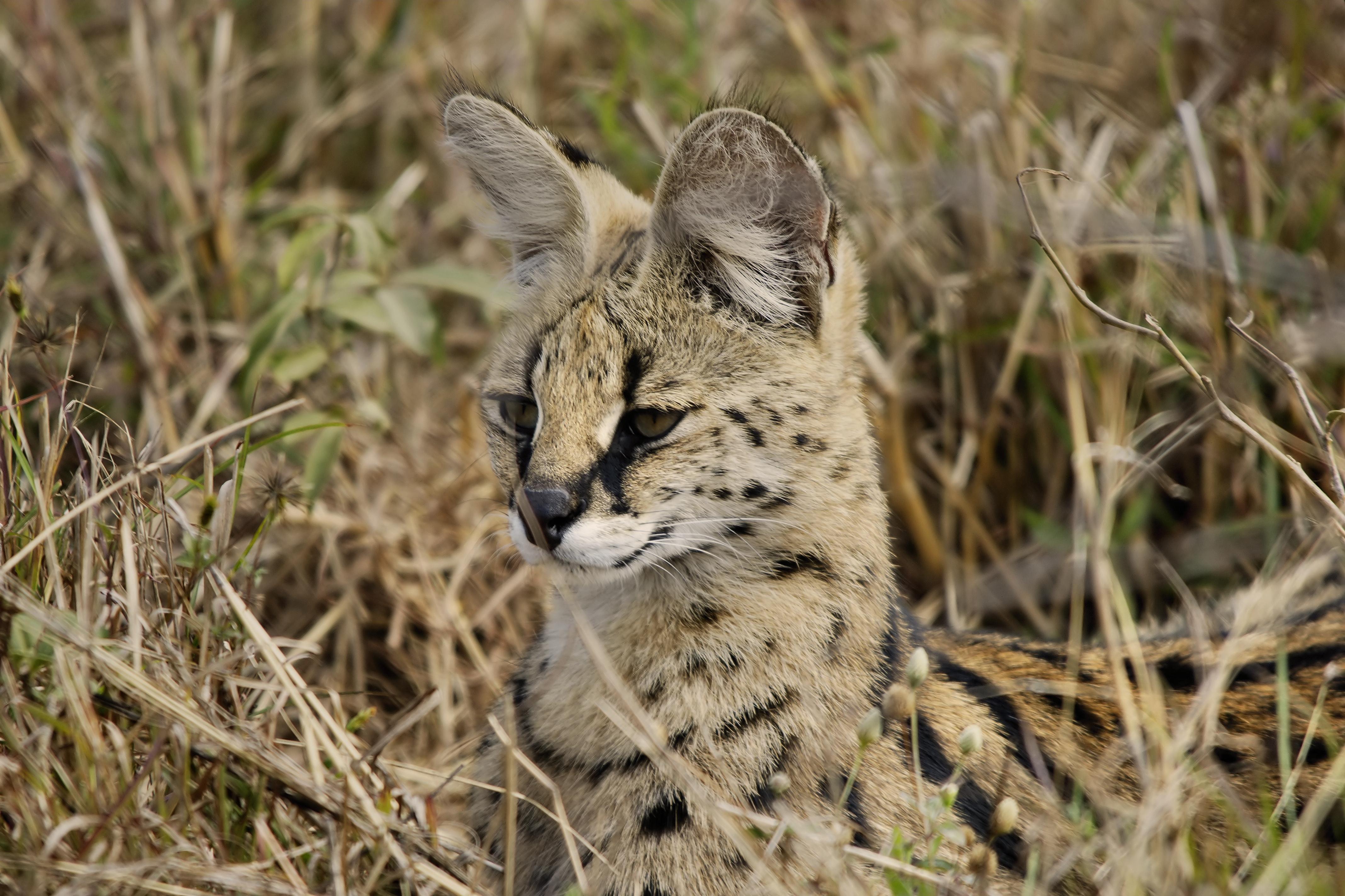 serval-lying-in-grass-on-alert
