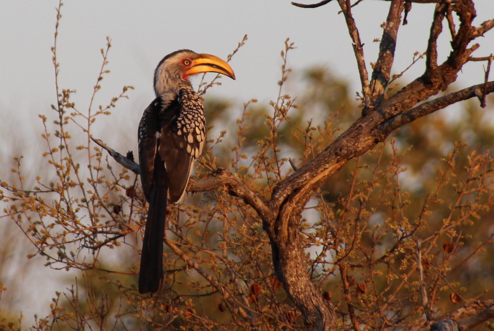 hornbill in Africa