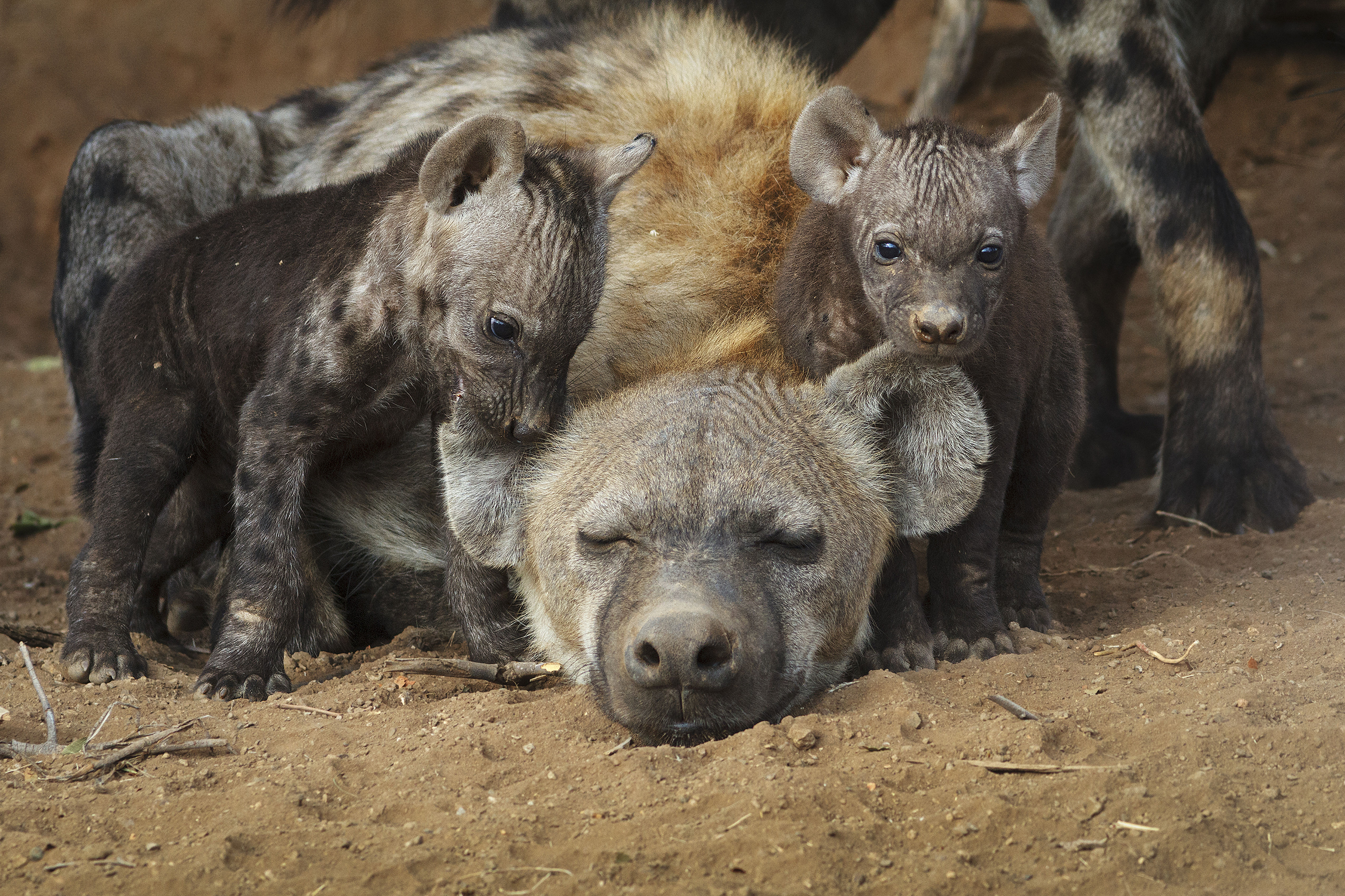 hyena with cubs