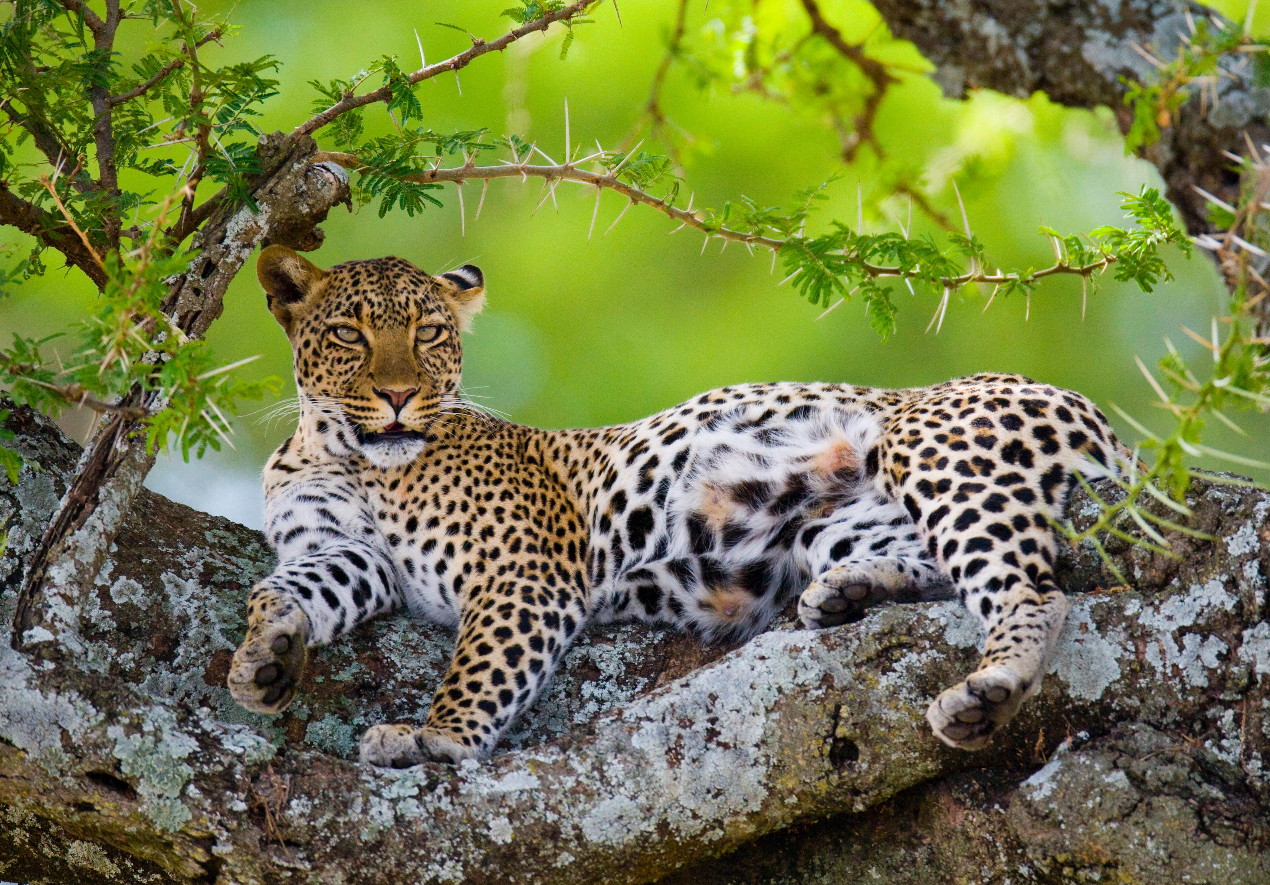 leopard relaxing in a tree
