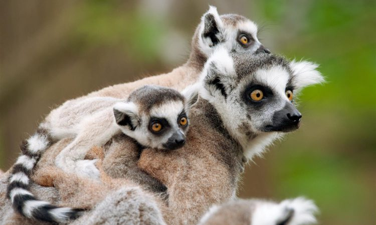 mother and baby lemurs