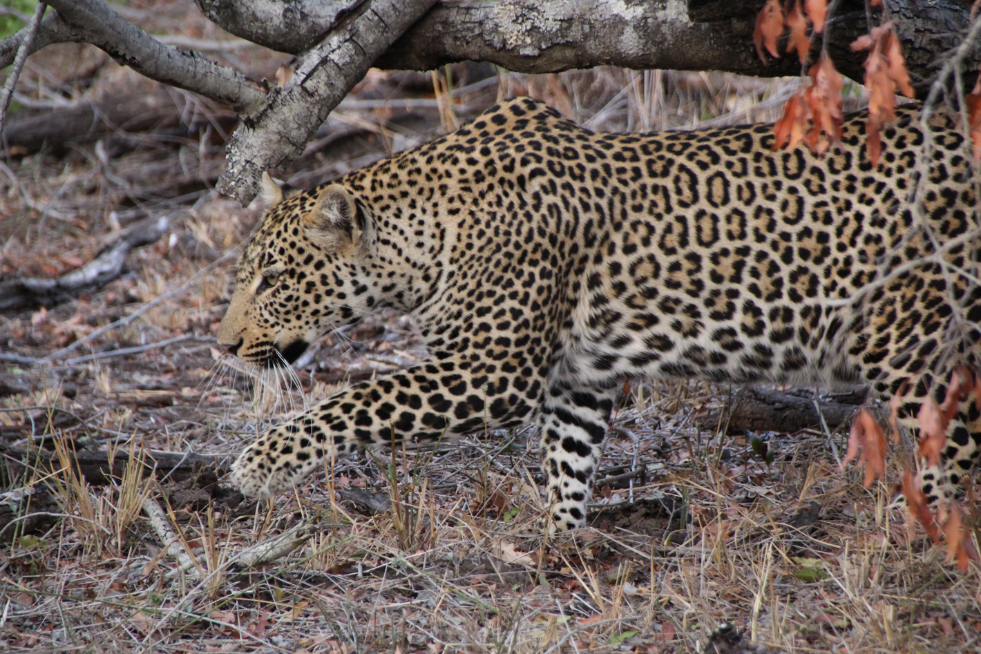 stalking leopard in the Kruger National park