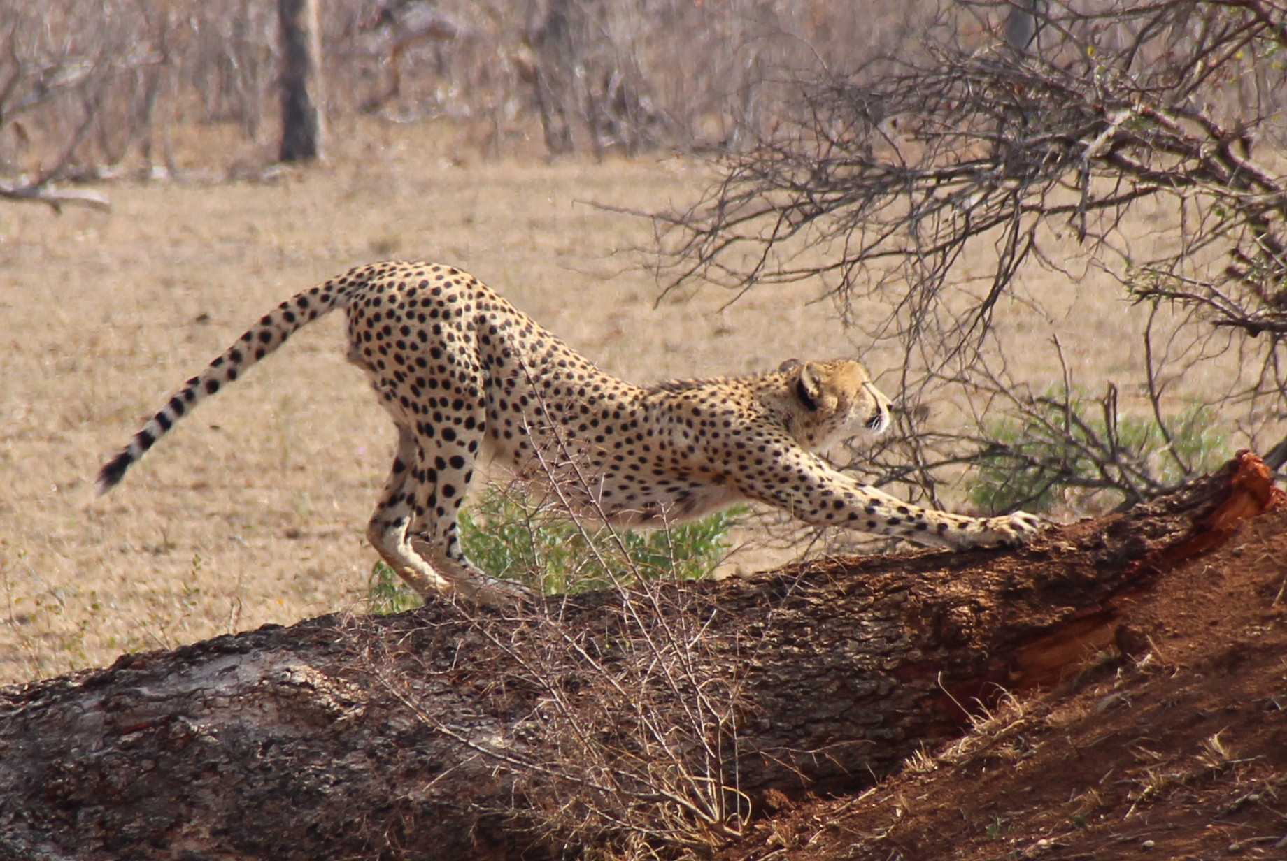 stretching cheetah