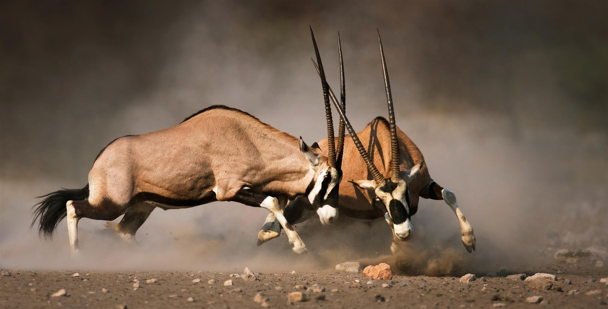 Dos gemsboks u órices del Cabo peleando en el Parque Nacional Etosha