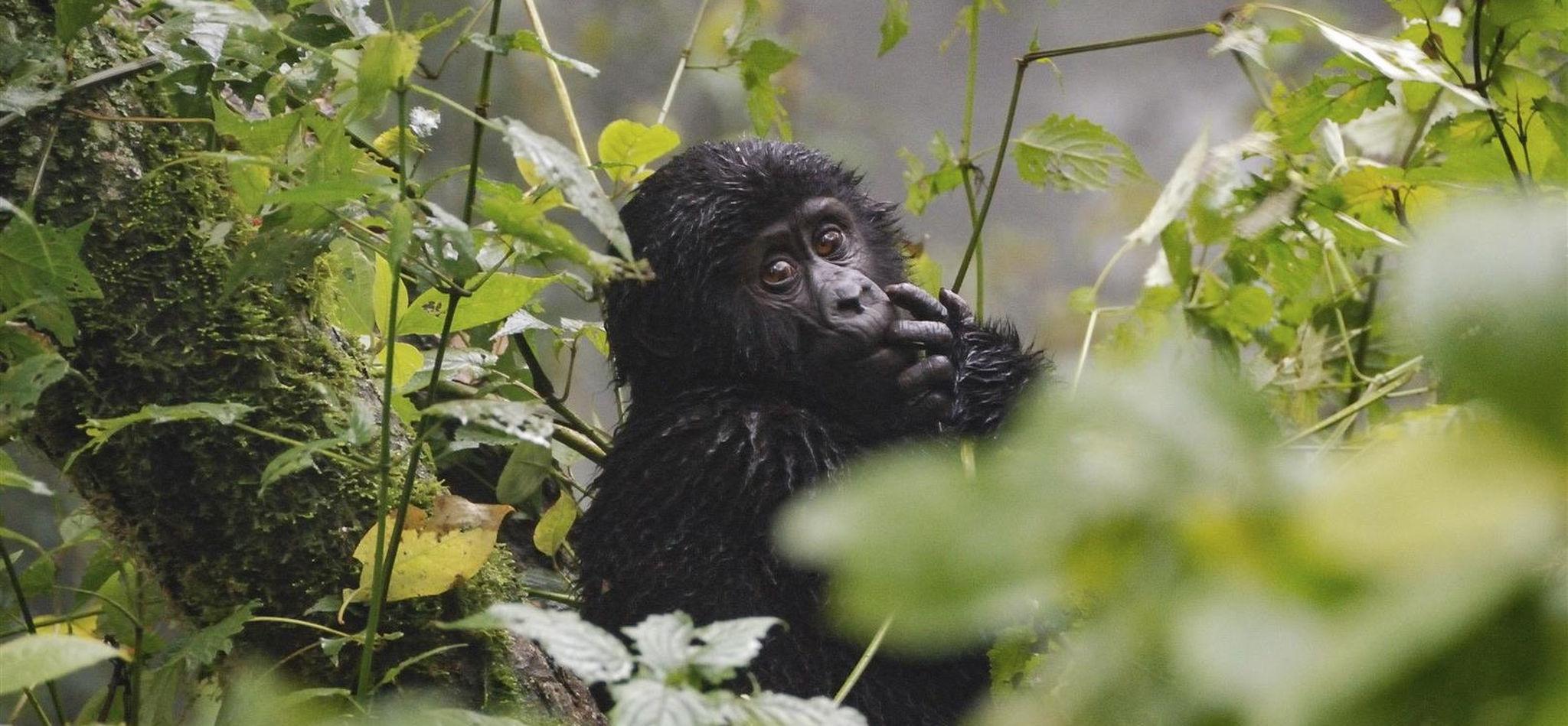 Cría de gorila en el Parque Nacional de la Selva Impenetrable de Bwindi