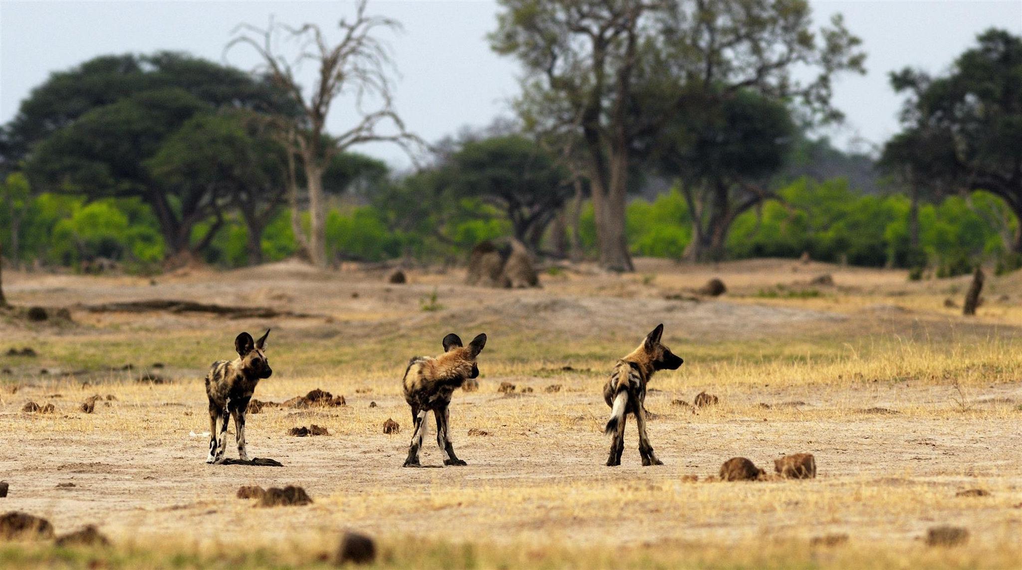 Manada de perros salvajes en el Parque Nacional Hwange de Zimbabue