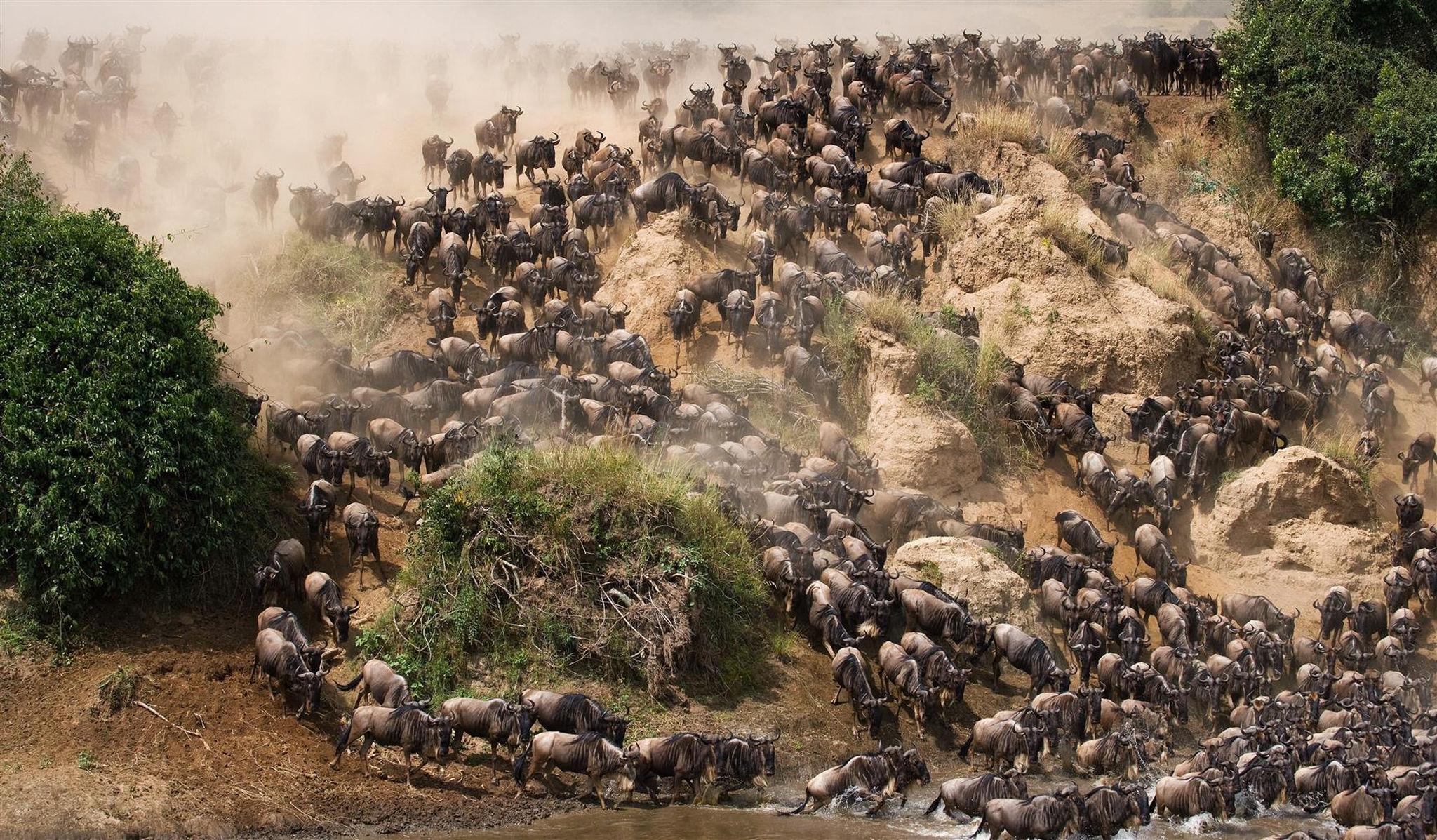 Miles de ñus cruzando un río en Tanzania durante la Gran Migración