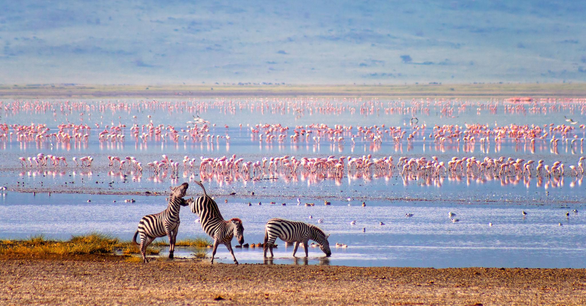 Zebras con flamencos en el fondo en el cráter Ngorongoro