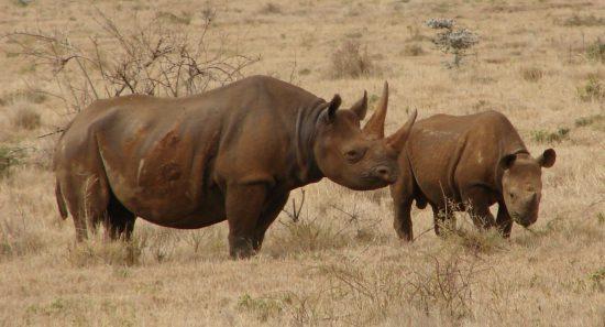 black desert rhino