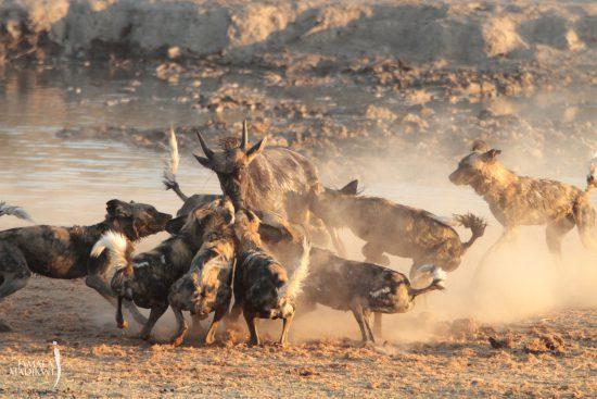 wild dogs making a kill