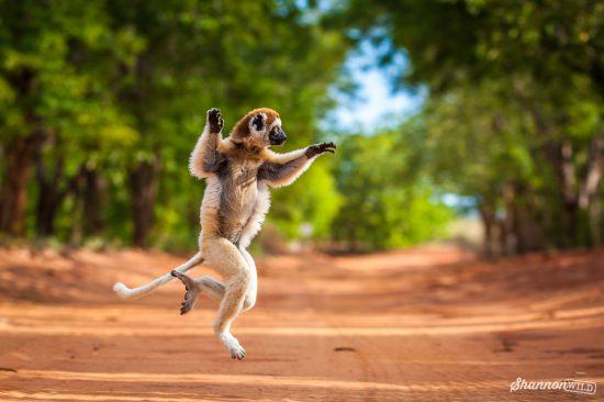 Lemur in Action