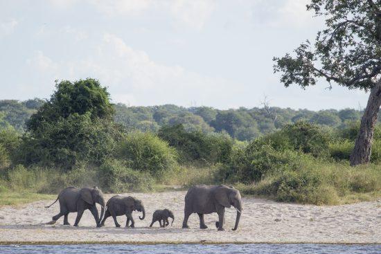 elephants drink on chobe river