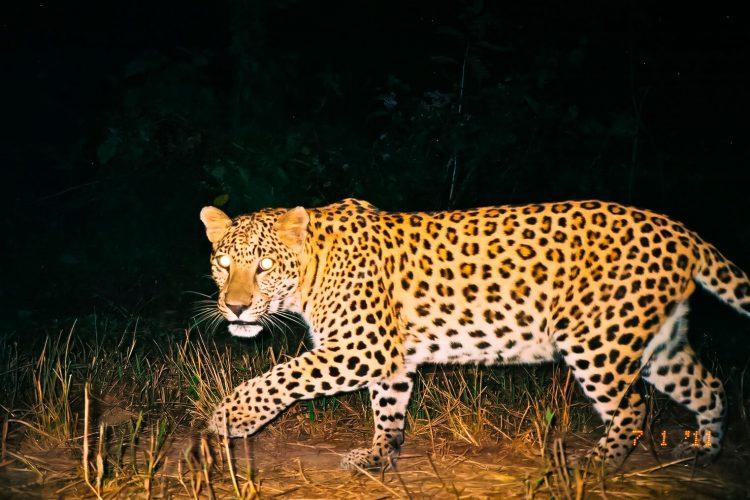 Leopardo merodeando de noche