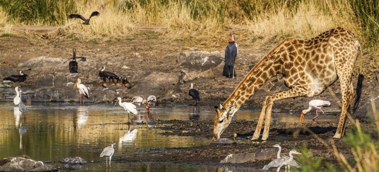 Jirafa y aves bebiendo de un abrevadero en el Kruger