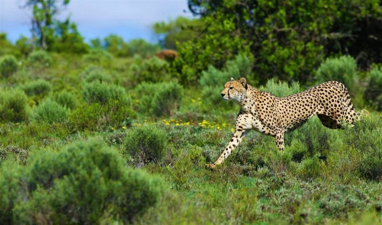 Guepardo en el Parque Nacional Kruger