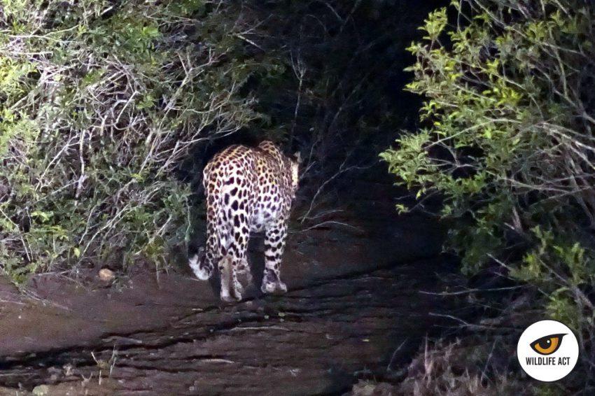 El leopardo camina hacia el interior de la sabana