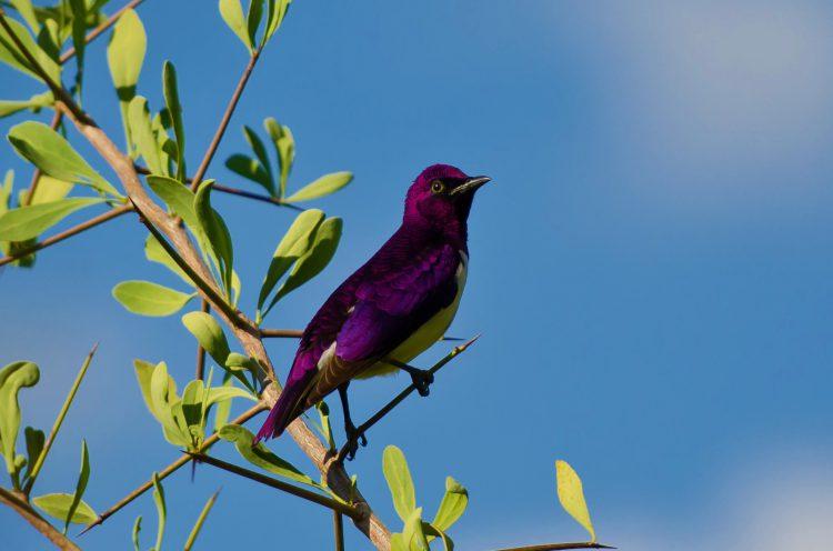 Una de las numerosas especies de aves en el Kruger