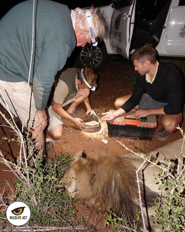 El equipo de trabajo coloca uno de los collares a un león