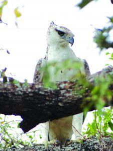 juvenile crowned eagle