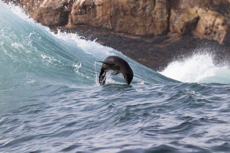 Lobo marino surgelando una ola