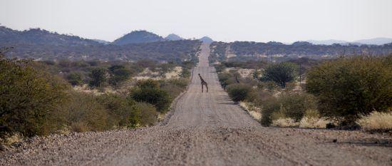 giraffe in road in Namibia